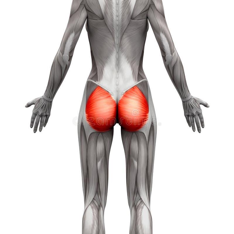 Gluteal мышцы/Gluteus Maximus - мышцы анатомии изолированные дальше иллюстрация вектора