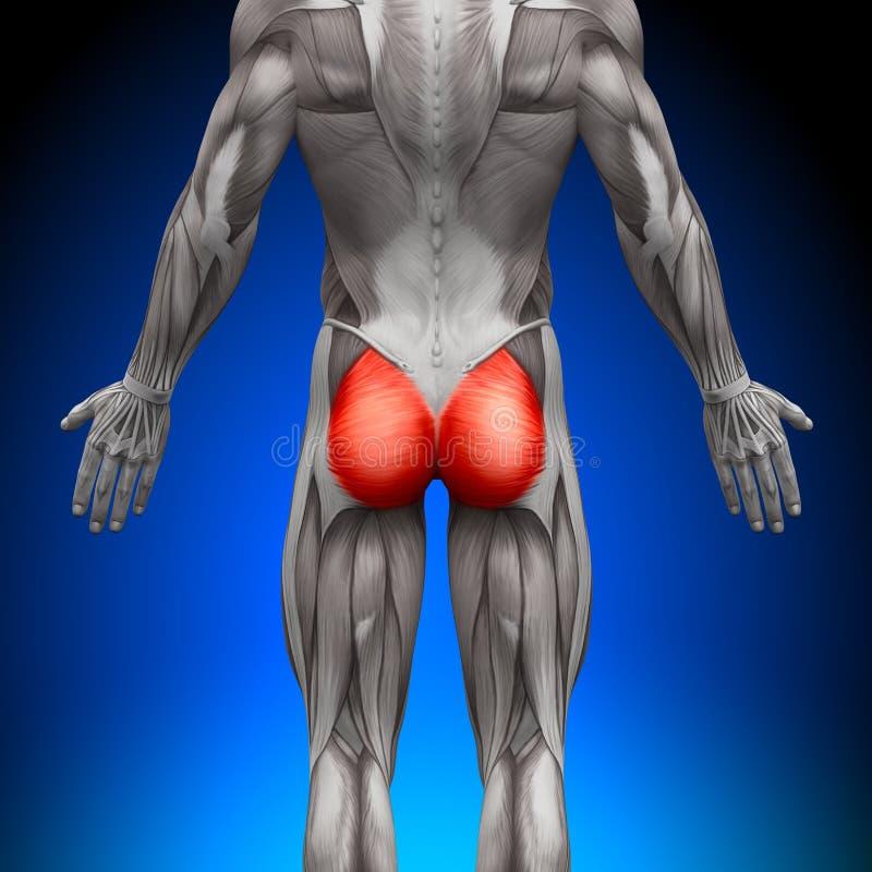 Glutes/Gluteus Maximus - Anatomie-Muskeln Stock Abbildung ...