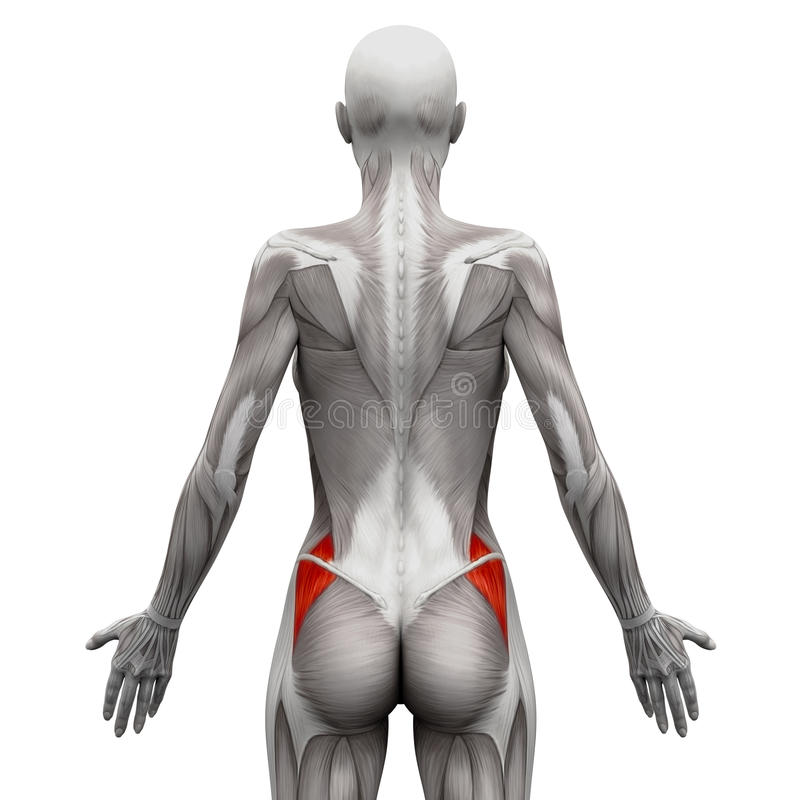 Gluteus Medius - Anatomie-Muskeln Lokalisiert Auf Weiß- Illustra 3D ...