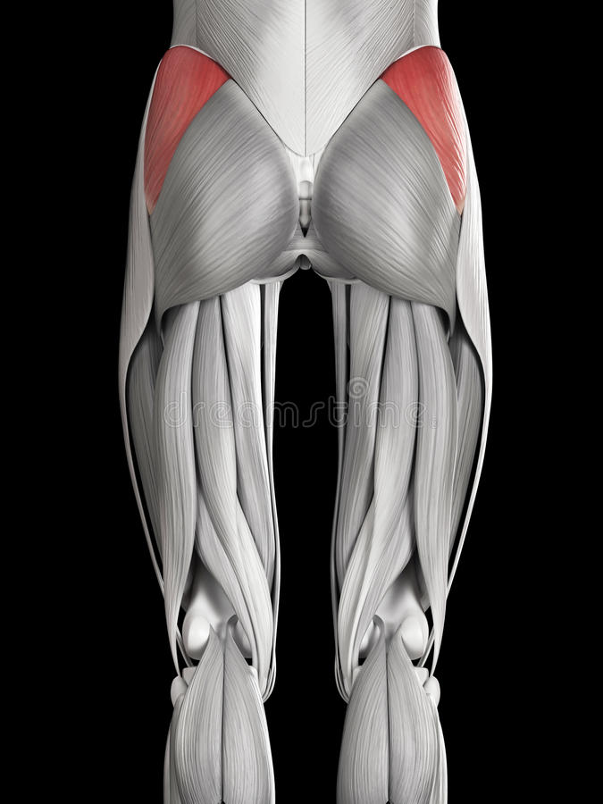 The Gluteus Medius Stock Illustration Illustration Of Medius 45576644