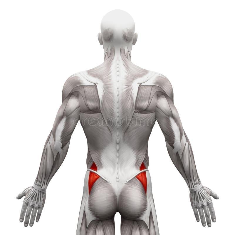 Gluteus Medius - muscles d'anatomie d'isolement sur le blanc - illustra 3D illustration de vecteur