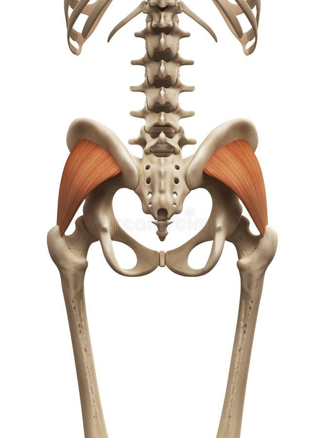 Ausgezeichnet Gluteus Minimus Anatomie Galerie - Menschliche ...