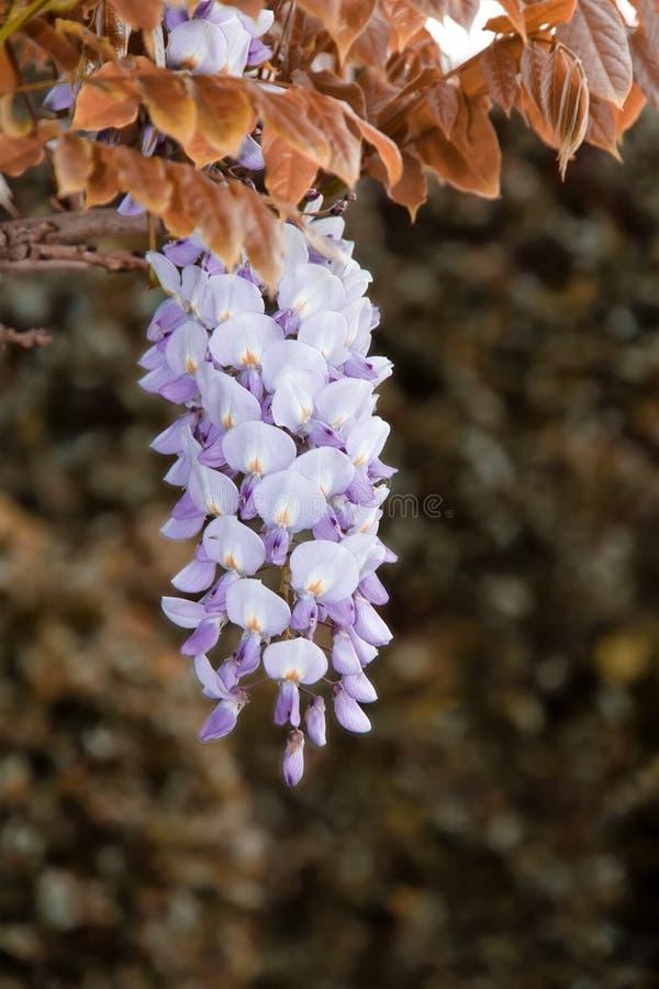 Glycinblumen stockfotos