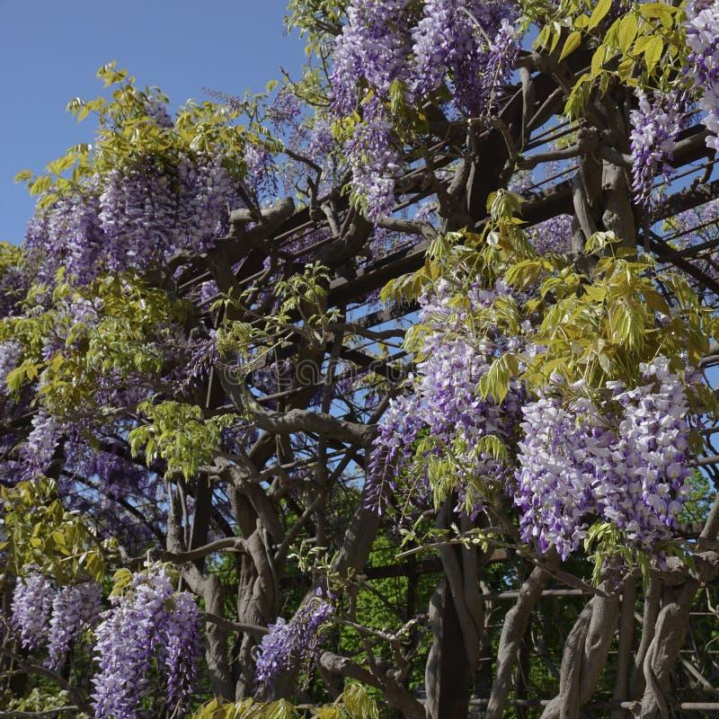 Glycine bouclée parfumée avec les fleurs pourpres image stock