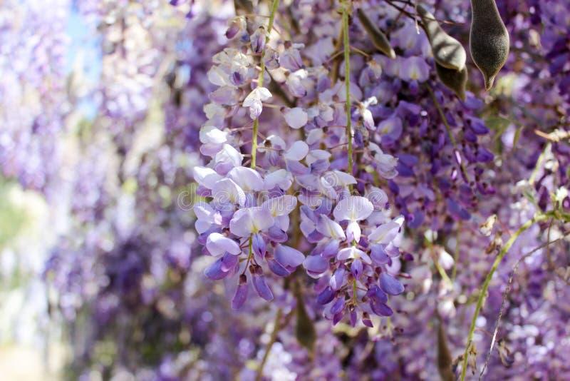 Glycine colorée en fleur photographie stock