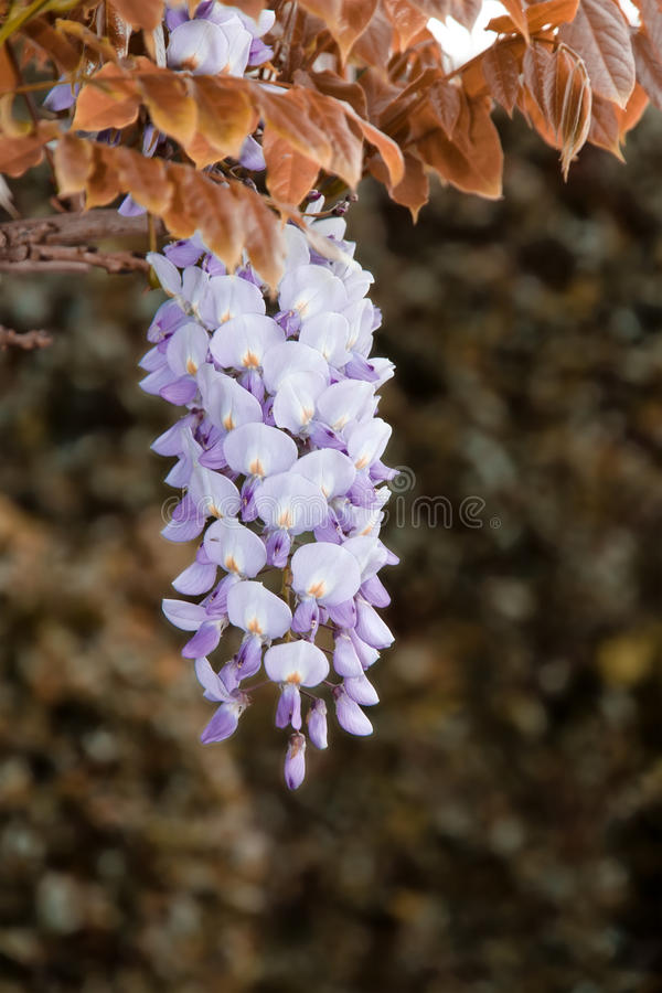 New Spring Summer 2014 Tween Fashion Instagram Love Bc: Wisteria Glycine Flowers Stock Photo