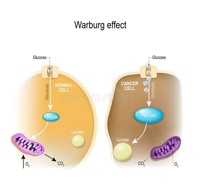 Glycolyse Warburgeffect vector illustratie