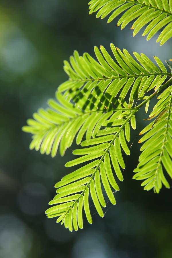 Glyptostroboides del Metasequoia foto de archivo