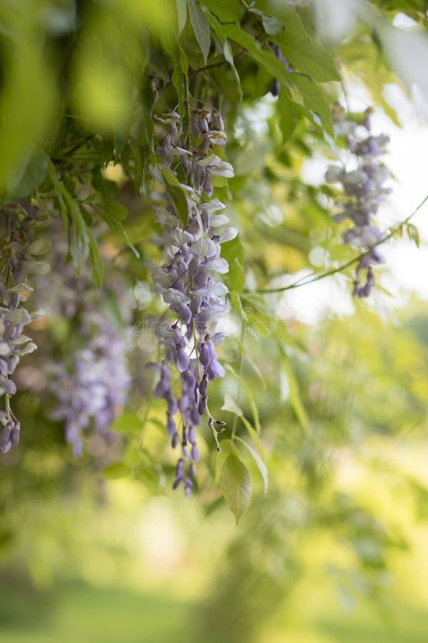 Glyzinie-Baum in der Blüte stockbilder