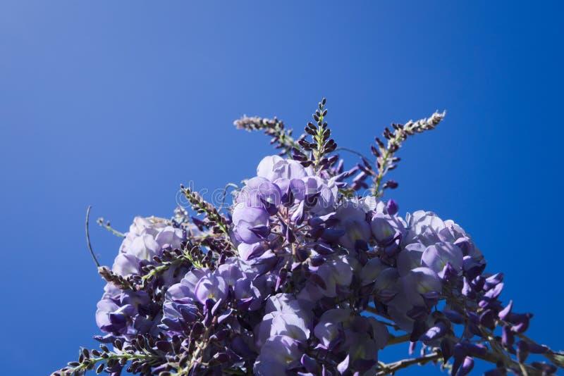 Glyzinie-Blumen im Himmel lizenzfreie stockbilder