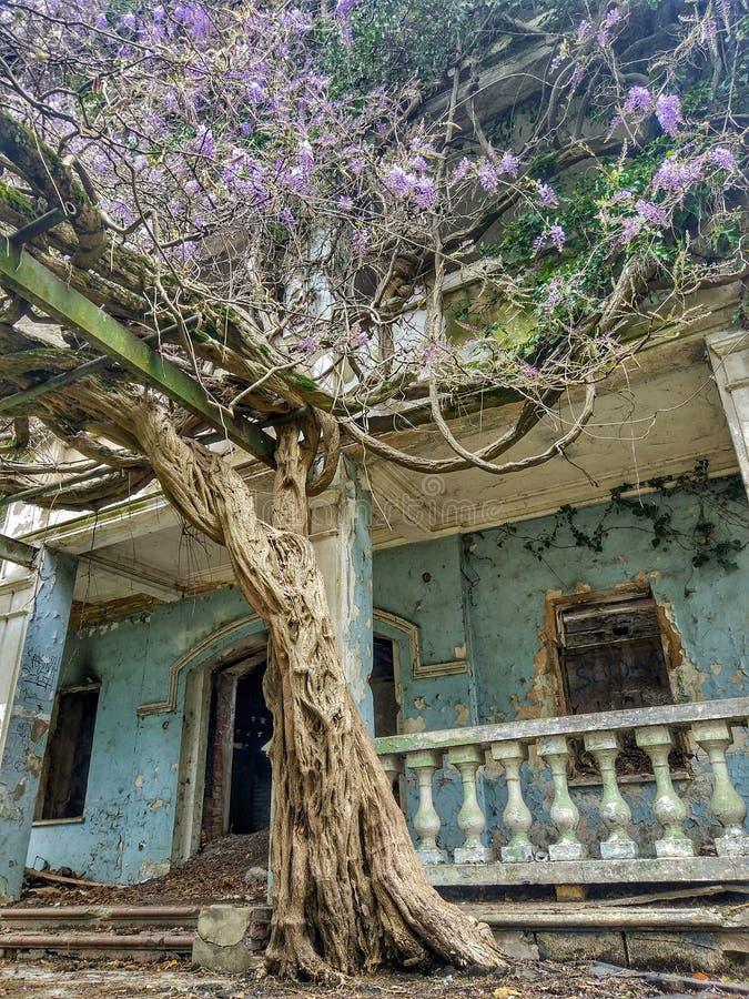 Glyzinie an einem verlassenen Haus lizenzfreies stockbild