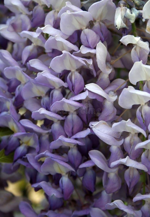 Glyzinie sinensis lizenzfreies stockfoto