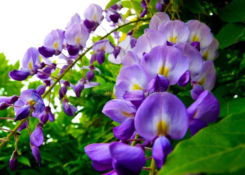Glyzinie sinensis Glycine de Chine blüht im Garten stockfotos