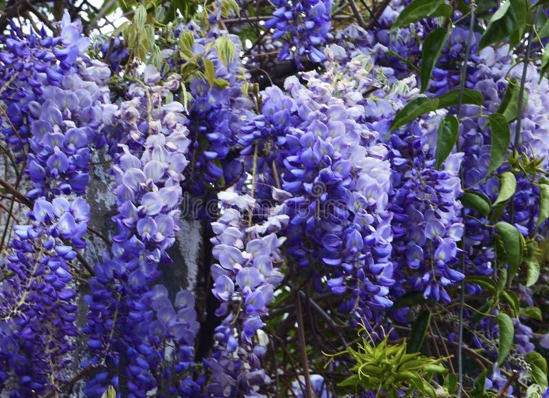 Glyzinie sinensis Glycine de Chine bl?ht im Garten stockfotos
