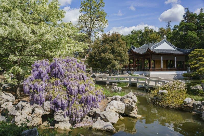 Glyzinieblüte im chinesischen Garten von Huntington-Bibliothek lizenzfreie stockfotos