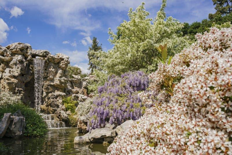 Glyzinieblüte im chinesischen Garten von Huntington-Bibliothek lizenzfreie stockfotografie