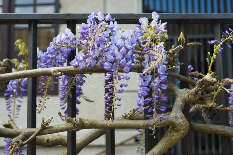 Glyzinieblume in einem Zaun stockfotos