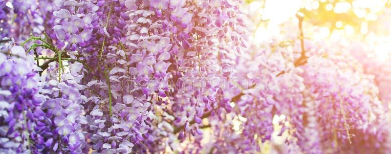 Glyzinieblumen, die in der purpurroten Farbe blühen stockbild