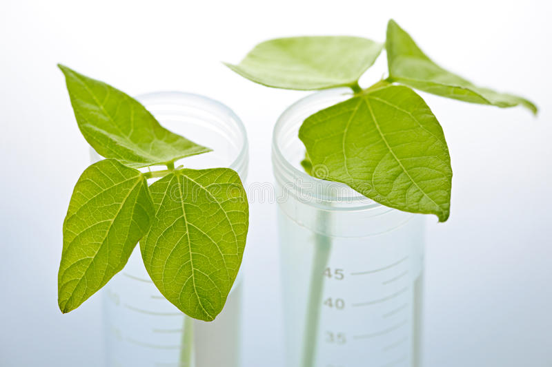GM plant seedlings in test tubes stock photos