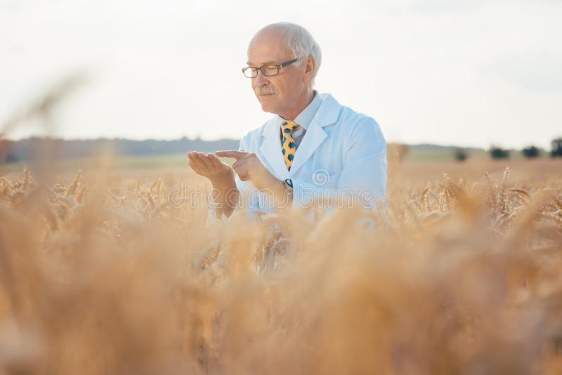 GMO五谷科学家测试新的品种  免版税图库摄影