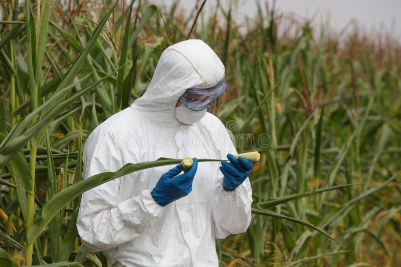 GMO - épi de maïs de examen d'ingénieur de biotechnologie sur le champ images libres de droits