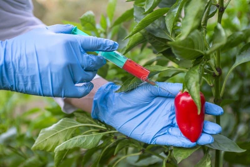 GMO e modifica dell'antiparassitario Scienziato in guanti che iniettano pepe con fertilizzante rosso Scienziato OMG che inietta l fotografia stock libera da diritti