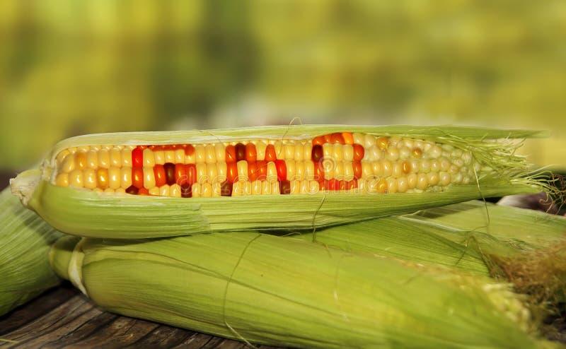 Gmo food. Corn conceptual image stock photos