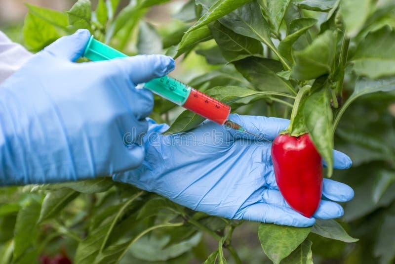 GMO i pestycyd modyfikacja Naukowiec wstrzykuje pieprzu z czerwonym użyźniaczem w rękawiczkach GMO naukowa wstrzykiwania ciecz od zdjęcia royalty free