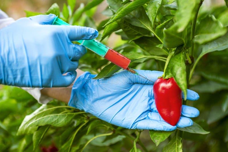 GMO i pestycyd modyfikacja Naukowiec wstrzykuje pieprzu z czerwonym użyźniaczem w rękawiczkach GMO naukowa wstrzykiwania ciecz od obrazy stock