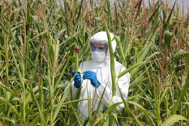 Gmo - profesional examining corn cob on field stock image