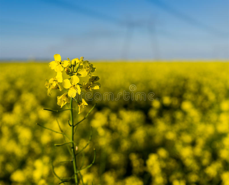 GMO rapeseed plant on a huge field for production of biodiesel, close-up. stock image