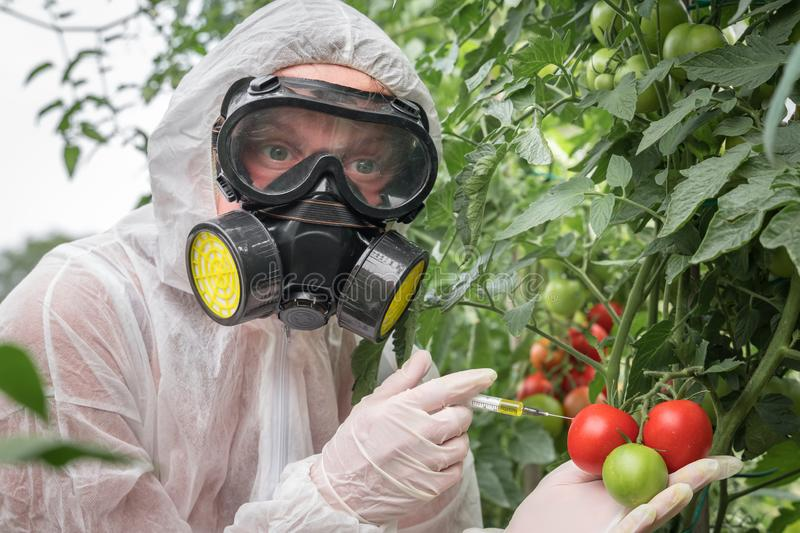 GMO scientist genetically modifying tomato with syringe stock photo