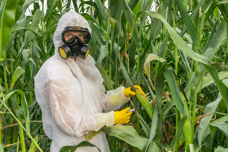 GMO scientist in coveralls genetically modifying corn maize. GMO scientist in coveralls and gas mask genetically modifying corn with syringe at maize field royalty free stock photo