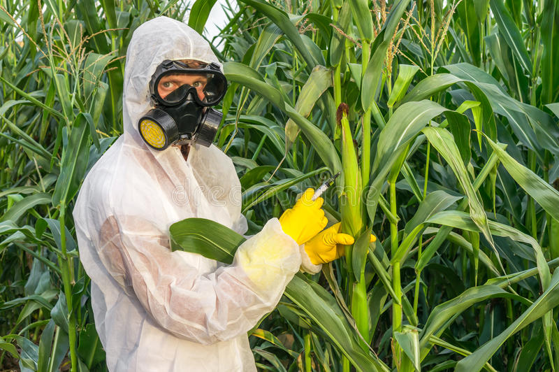 GMO scientist in coveralls genetically modifying corn maize. GMO scientist in coveralls and gas mask genetically modifying corn with syringe at maize field royalty free stock photography