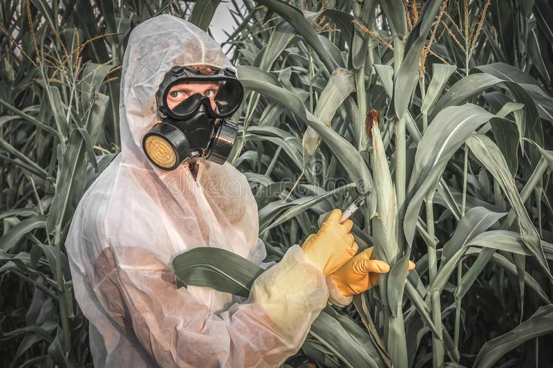 GMO scientist in coveralls genetically modifying corn maize royalty free stock image