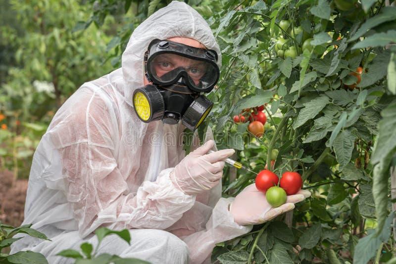 GMO scientist genetically modifying tomato with syringe stock photography