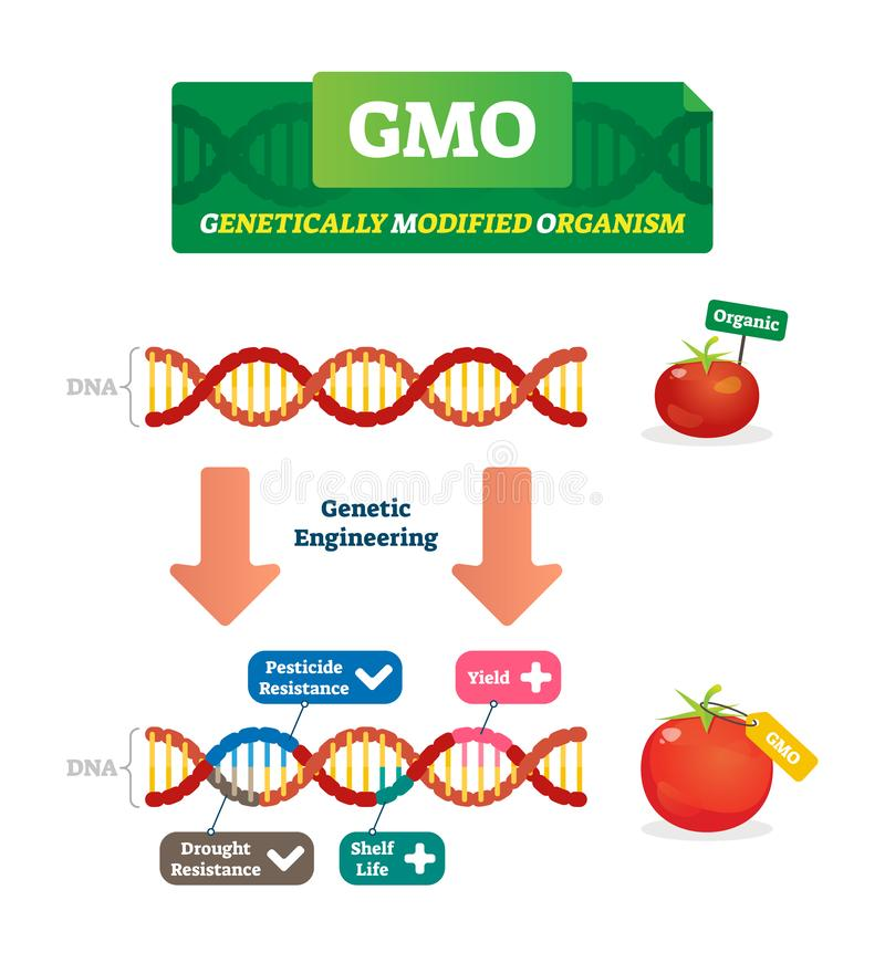 GMO-Vektorillustration Organische und geänderte landwirtschaftliche Anlagen entwerfen lizenzfreie abbildung