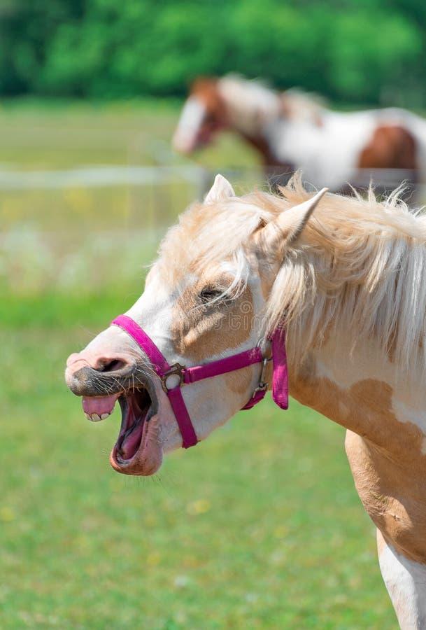 Gnägga häst royaltyfria foton
