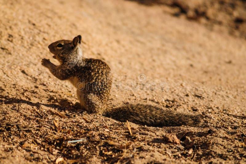 Gnagande vildblommor för Kalifornien jordekorre (den Otospermophilus beecheyien) arkivfoton