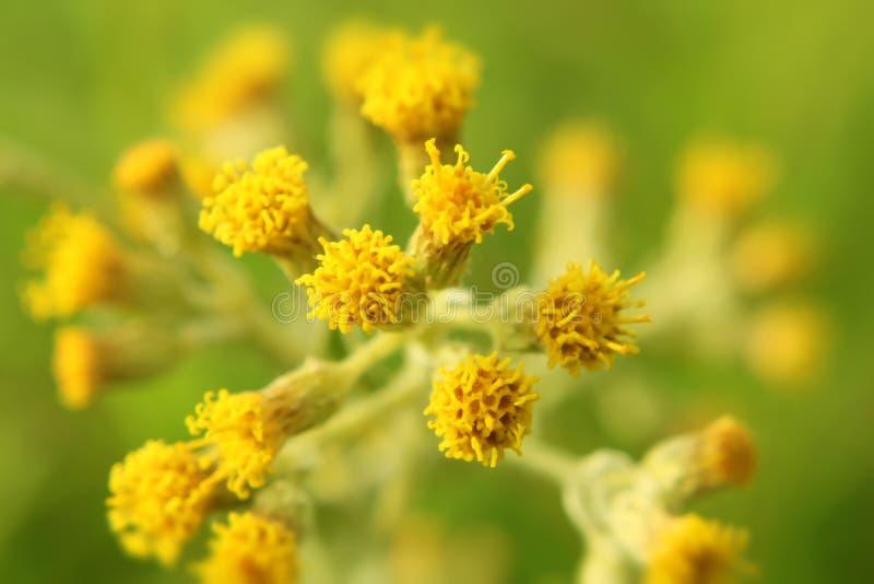Gnaphalium affine flower stock photo