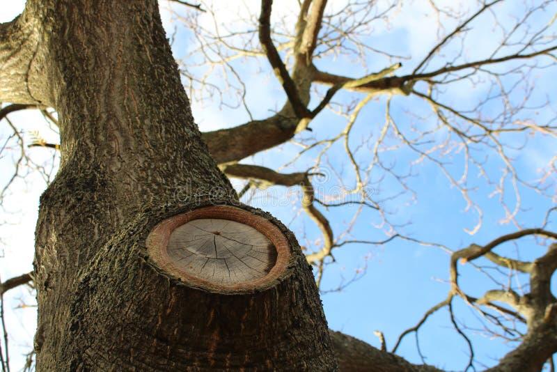 Gnarled старое дерево которое растет вверх стоковая фотография rf