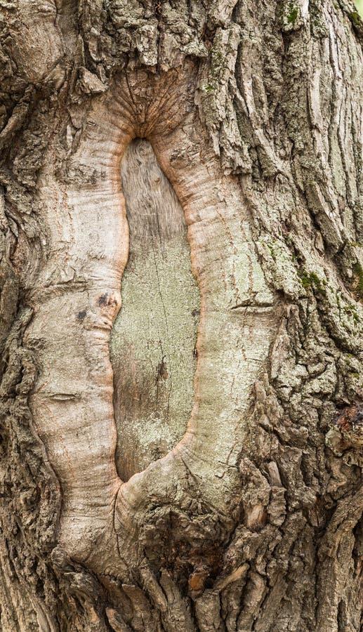 Gnarled хобот старого дерева стоковое изображение rf