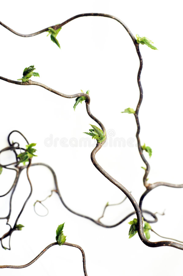 Gnarled branches stock images