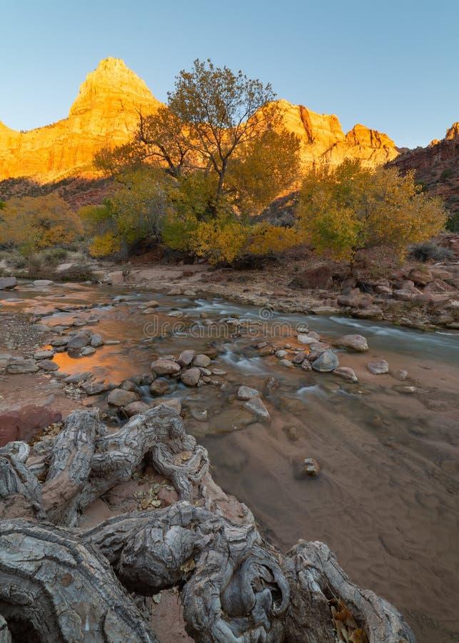 Gnarled cottonwood korzeni prowadzenia puszek Dziewicza rzeka w Zion parku narodowym Utah jako słońce ustawia na złotej jesieni s zdjęcie stock