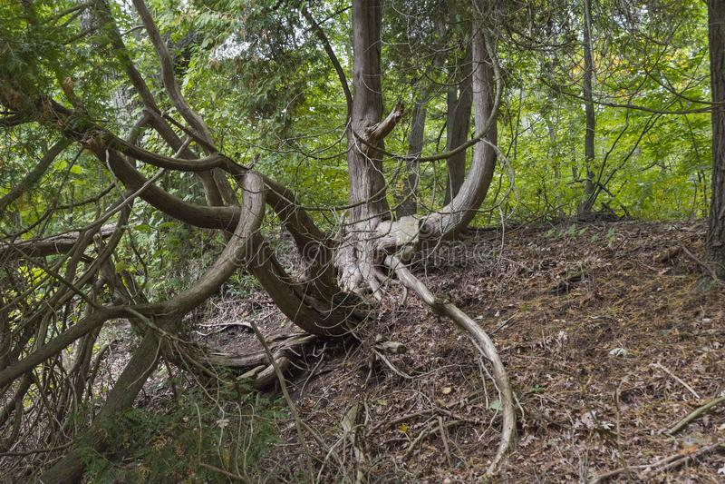 Gnarled dębowy drzewo wszystko kręcony w lesie zdjęcie stock