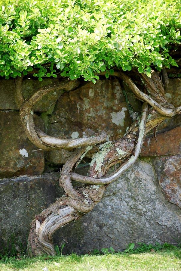 Gnarled drzewna i kamienna ściana  obrazy royalty free