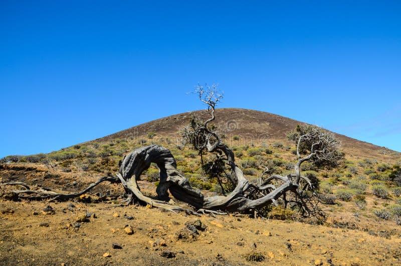 gnarled kalinka ukształtować drzewo wiatr obraz royalty free