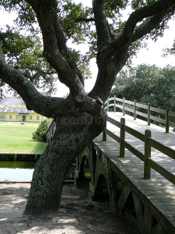Gnarled oak tree by wooden bridge royalty free stock photography