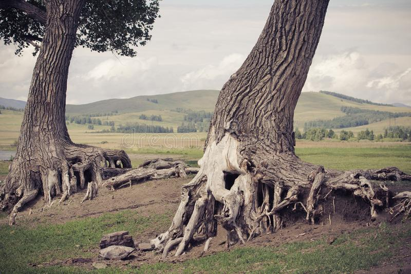 Gnarled and old trees near the lake stock photography