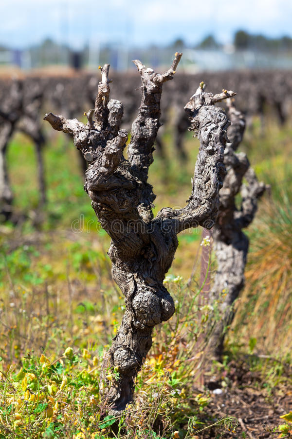 Gnarled old vine in a field royalty free stock photo